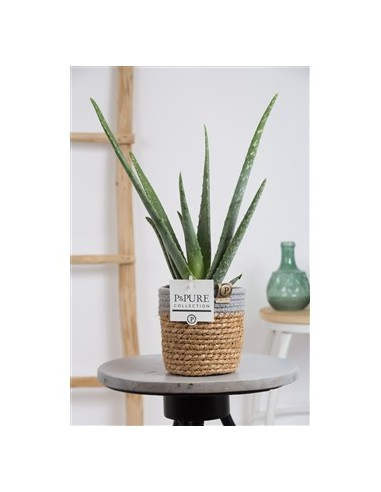 Pianta Aloe Vera in Vaso Corda Legno