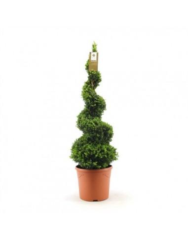 pianta di buxus elicoidale