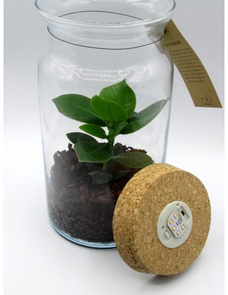 pianta di clusia in vetro