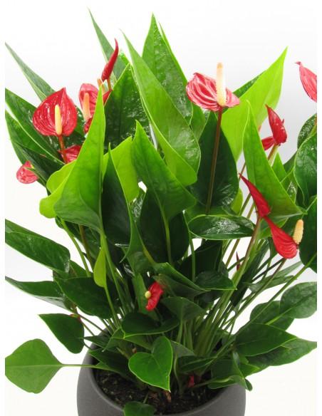 pianta di anthurium million flower