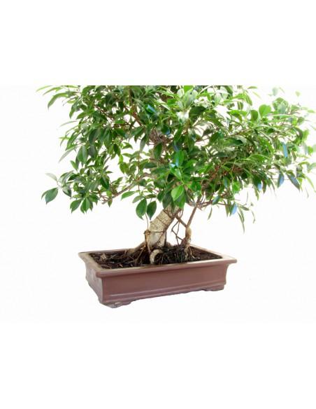 bonsai online