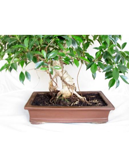 bonsai vendita