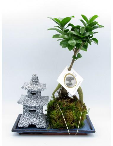 bonsai di ginseng