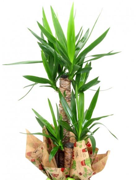 yucca pianta urban jungle