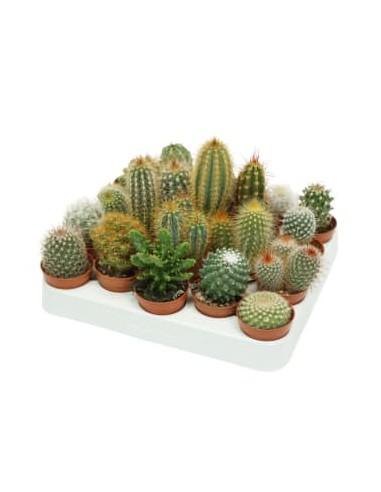 Cactus misti v.5.5