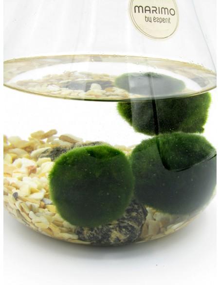 alga giapponese