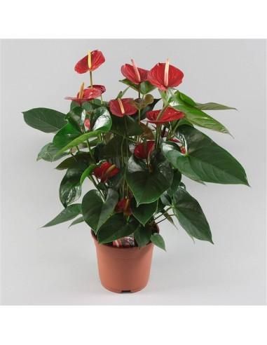 pianta di anthurium online napoli-spedizione napoli