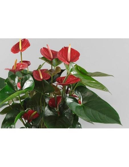 Pianta Anthurium da fiori rossi con spedizione online napoli