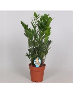 pianta di zamio-culcas