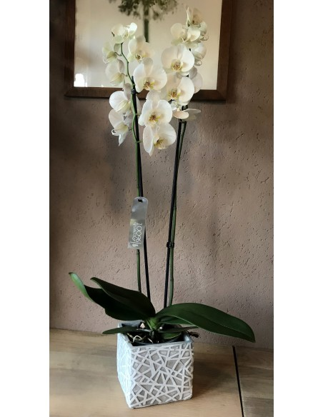 orchidea phalaenopsis bianca in vaso