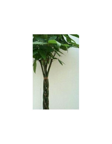 Pianta di Pachira tronco intrecciato