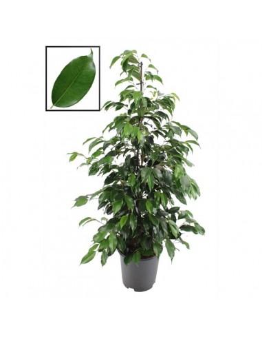 Ficus Benjamin-online-comprare ficus online