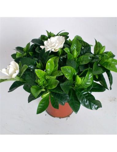 Gardenia dai fiori bianchi profumati