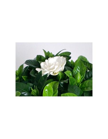 Pianta di GArdenia fiori profumati-online