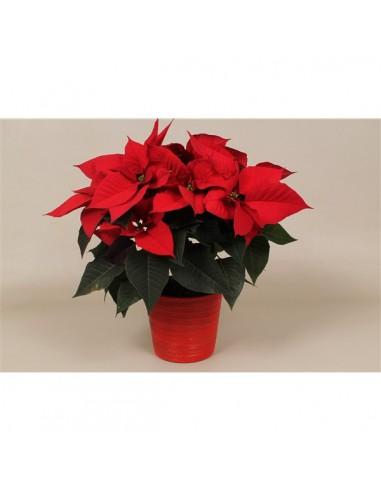 Pianta Stella di Natale Poinsettia
