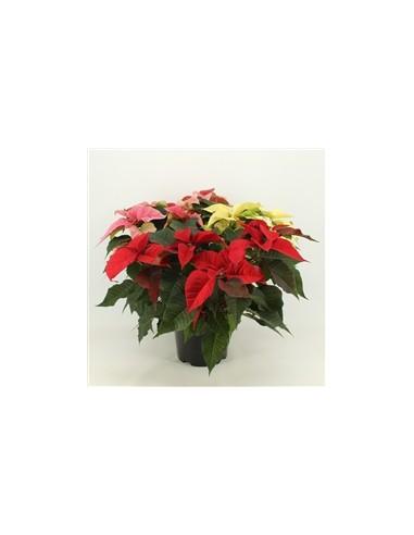 Stella di Natale tre colori, rosso, rosa e bianca