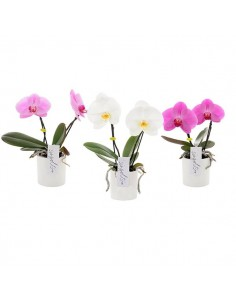 Pianta di phalaenopsis mono fiore