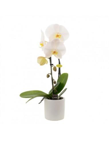 pianta di phalaenopsis .. orchidea