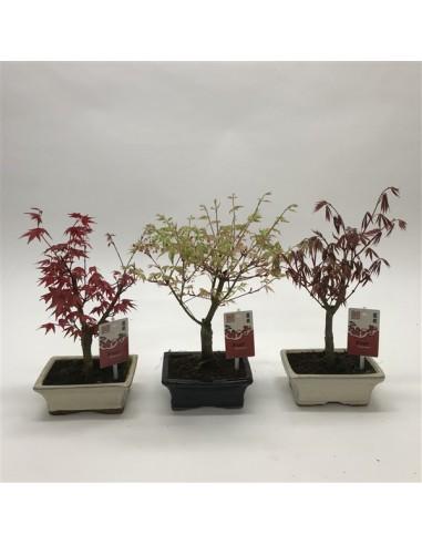 Acero palmatum