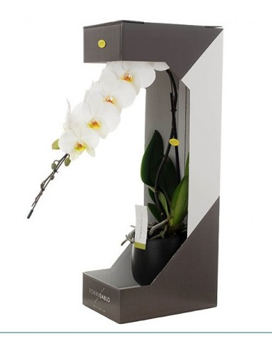 Pianta di orchidea phalaenopsis