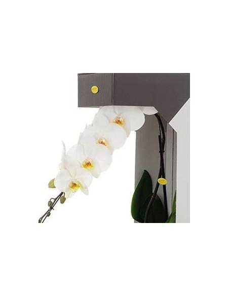Phalaenopsis bianca fiore grande